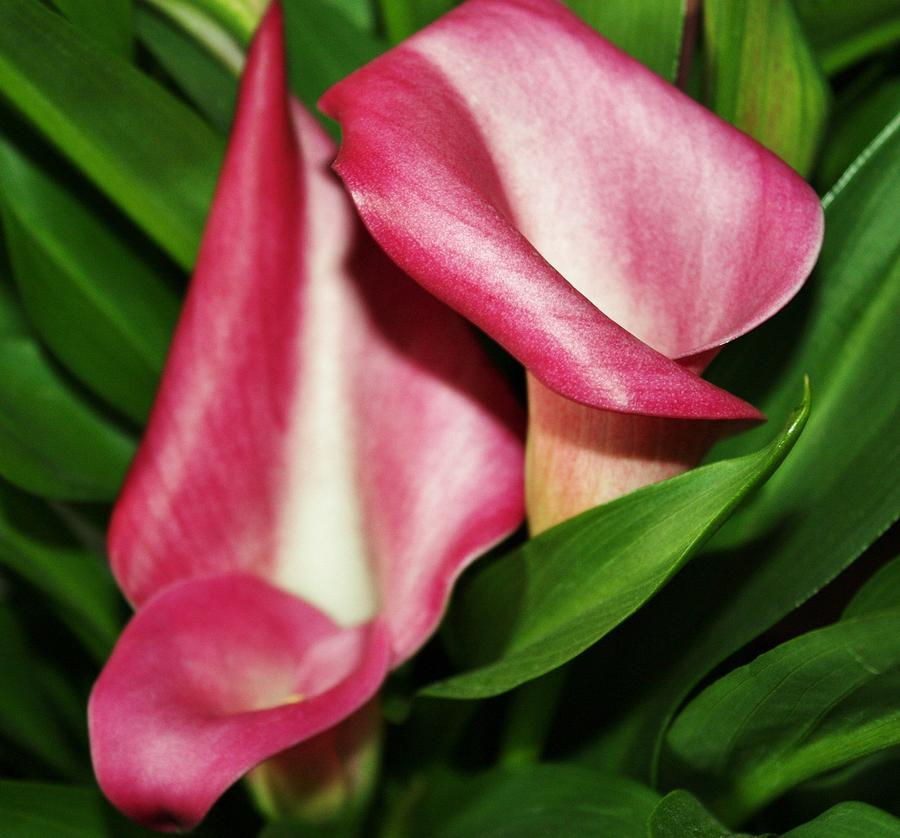 Calla Lillis Photograph - Pink Calla Lillys by Cathie Tyler