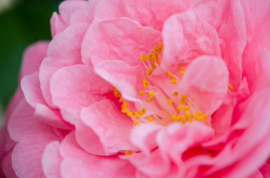 Pink Camellia by Kristin Hatt