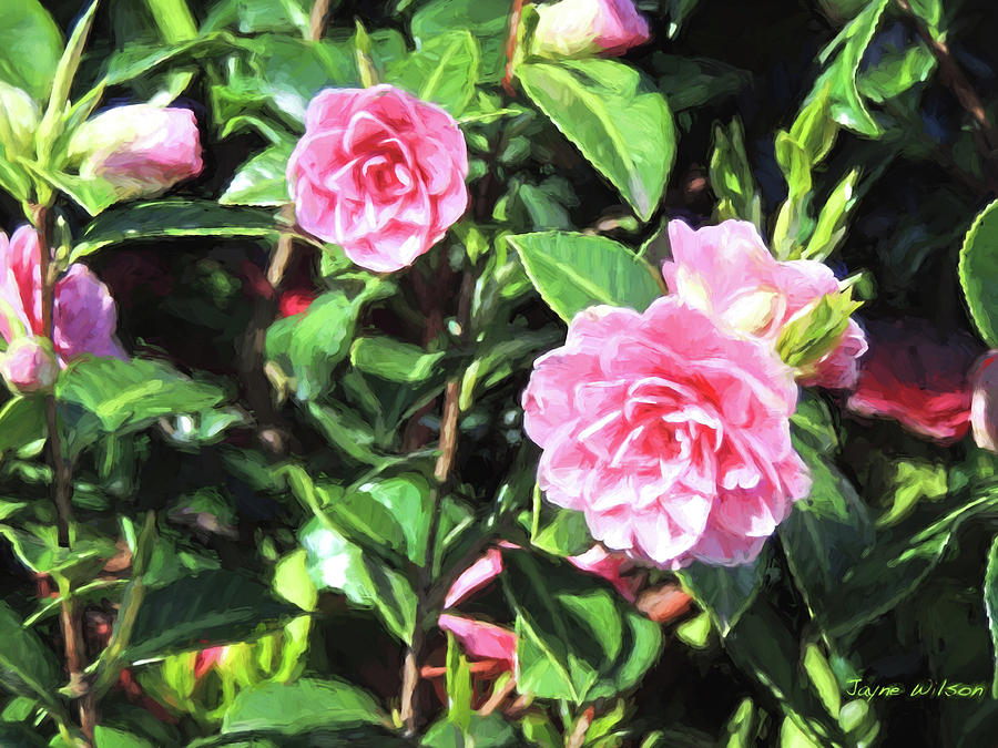 Pink Camellias by Jayne Wilson
