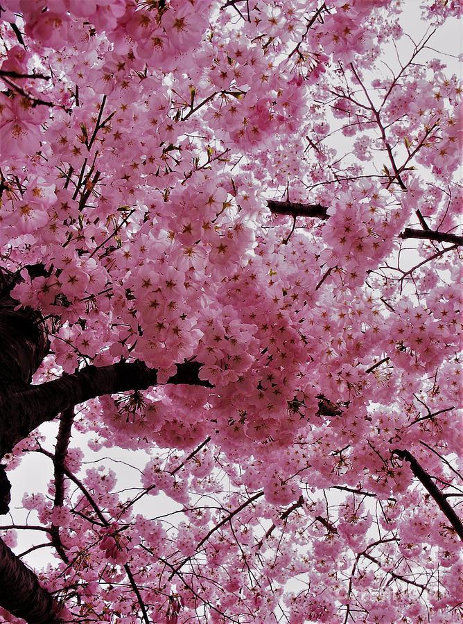 Cherry Tree Photograph - Pink Canopy by Patti Whitten