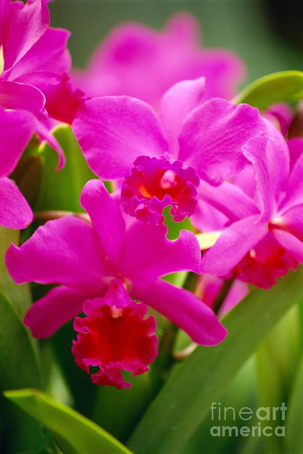 Allan Seiden Photograph - Pink Cattleya Orchids by Allan Seiden - Printscapes