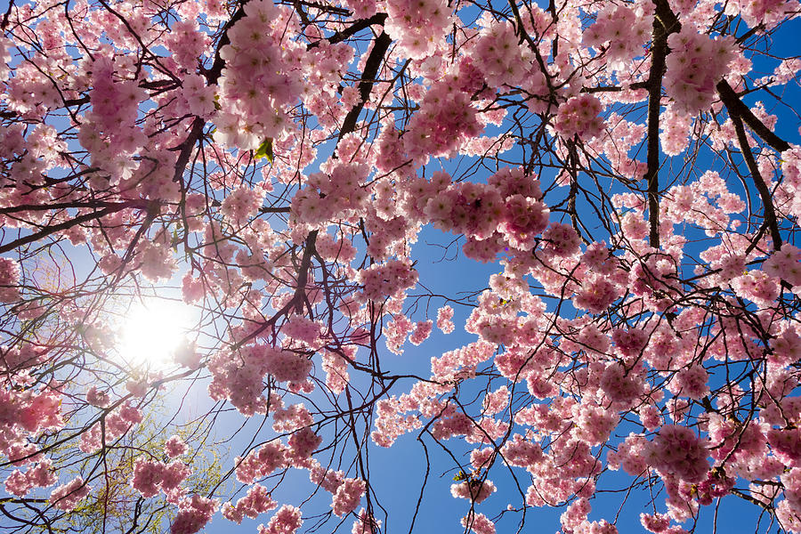 Pink Cherry Blossoms And Blue Sky In Spring Photograph