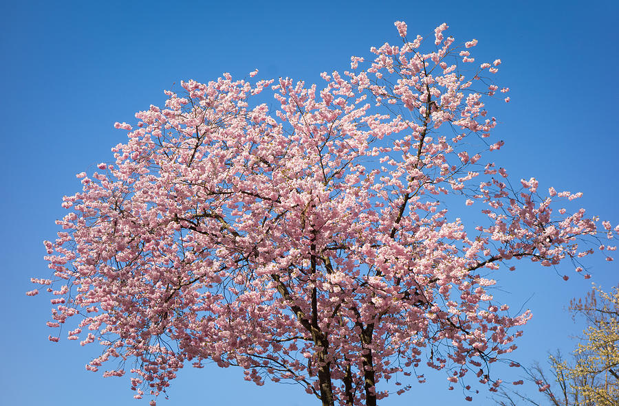 Pink Cherry Blossoms And Bright Blue Sky Photograph