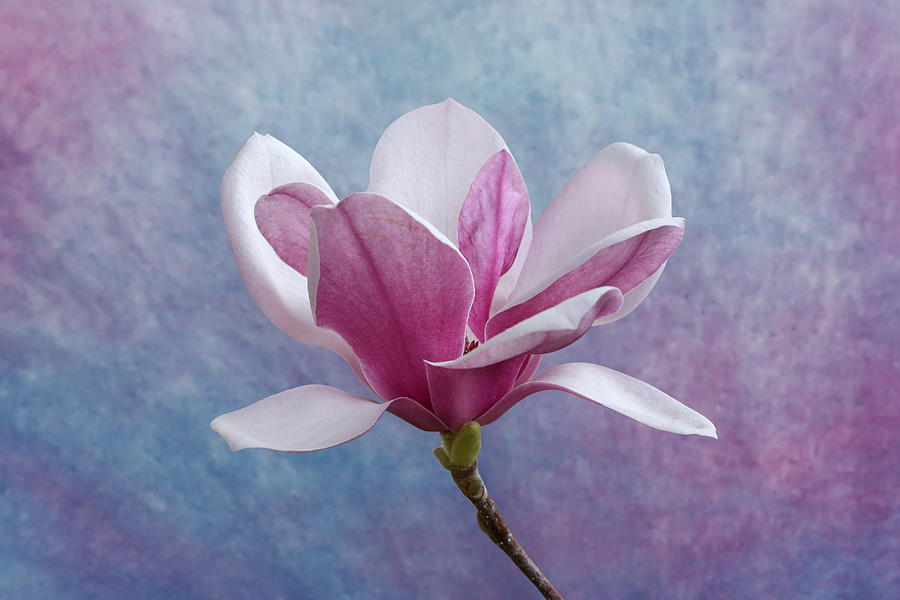 Chinese Magnolia Photograph - Pink Chinese Magnolia Flower by Debi Dalio