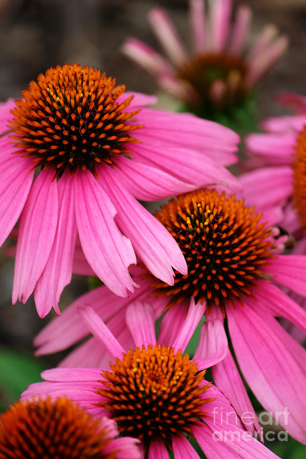 Pink Cone Flowers by Jackie Farnsworth