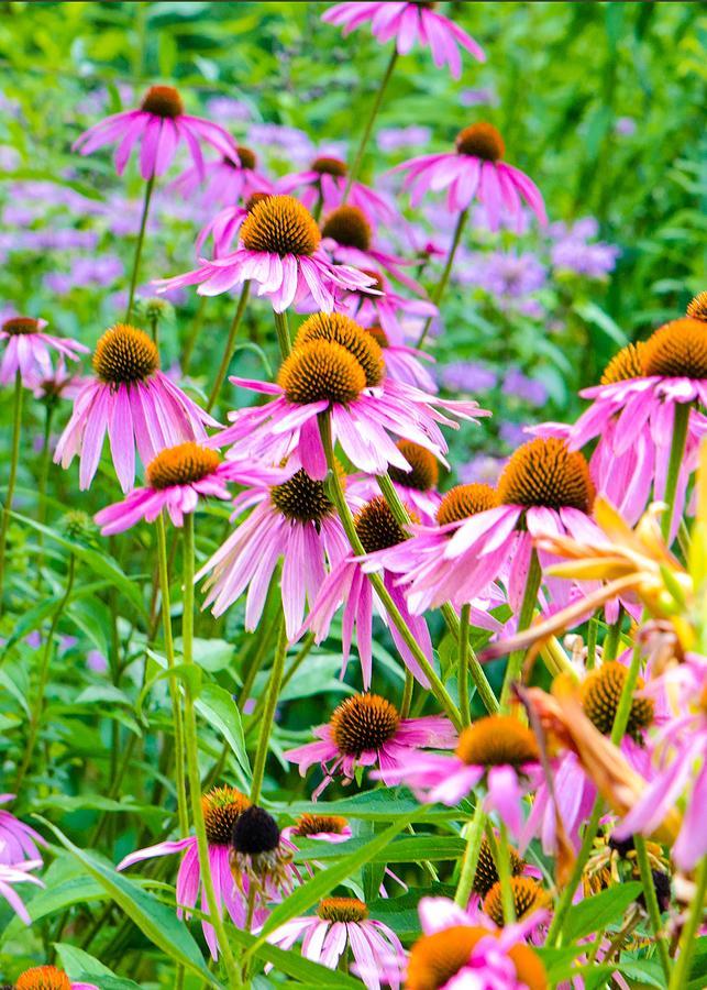 Pink Coneflower by Kristin Hatt