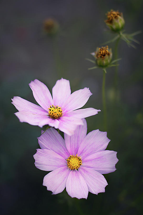 Pink Cosmos Flowers On A Dark Background Photograph By Karina