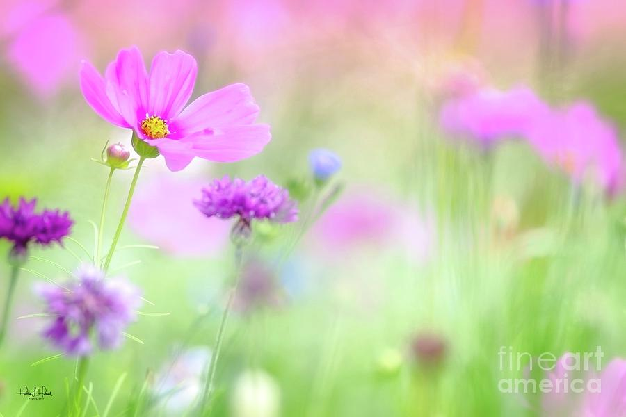 Pink Cosmos Photograph by Heather Hubbard