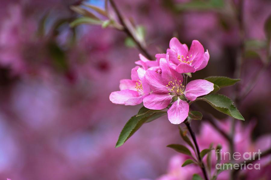 Pink Crabapple Bloom