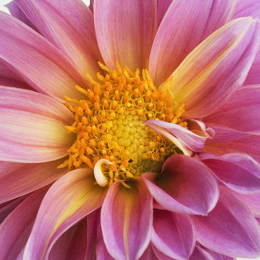 Flower Photograph - Pink Dahlia by Tony Ramos