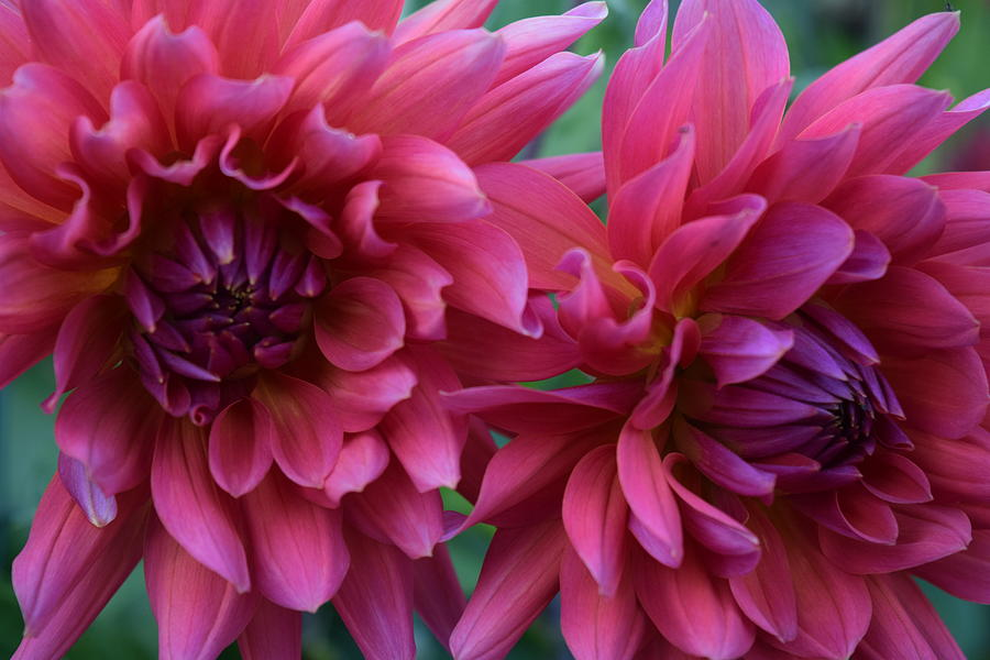 Pink Dahlia's by Gallery Of Hope
