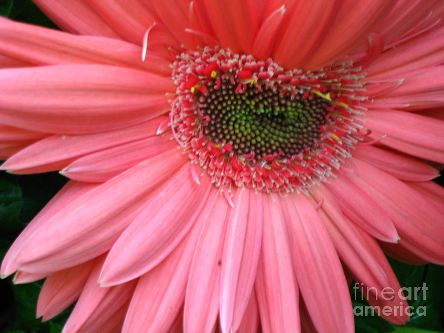 Pink Daisy Photograph by Dianna West