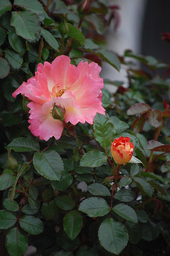 Roses Photograph - Pink Dawn by Helen Carson