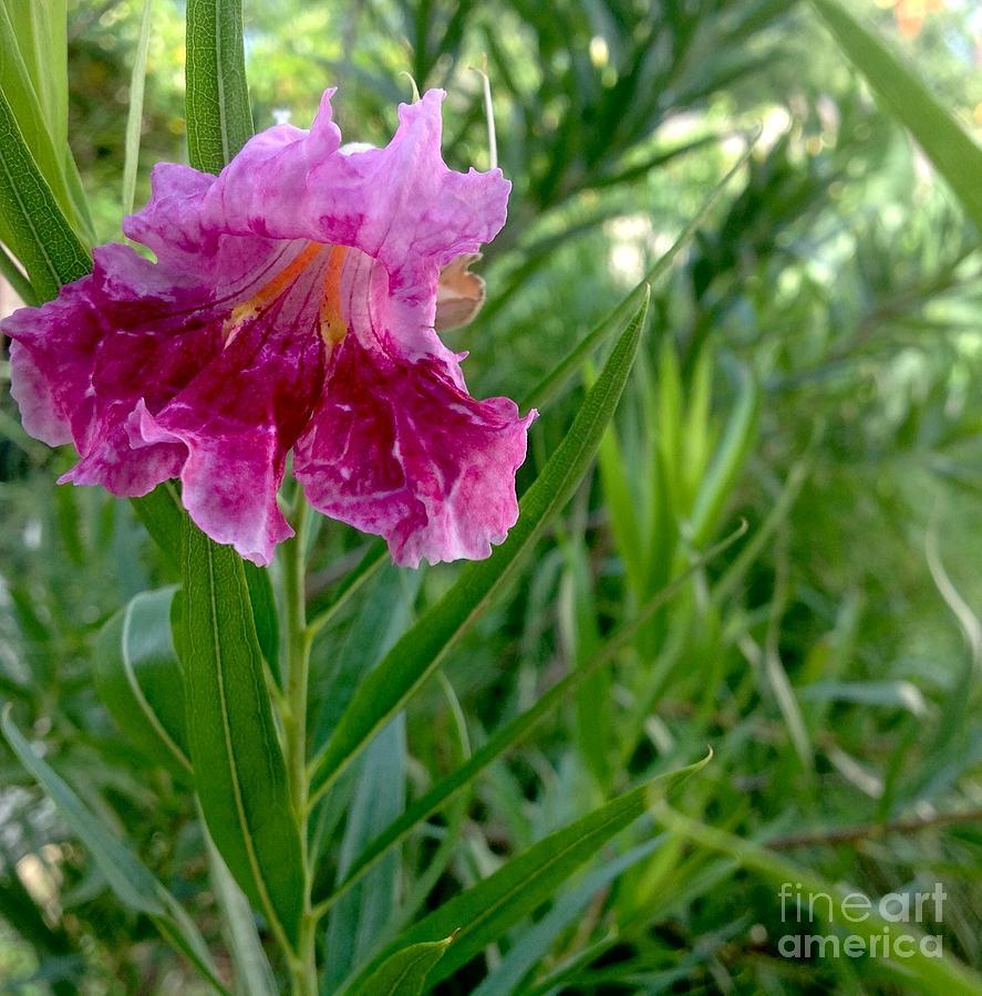 Pink desert willow tree photograph by virginia artho mightylinksfo