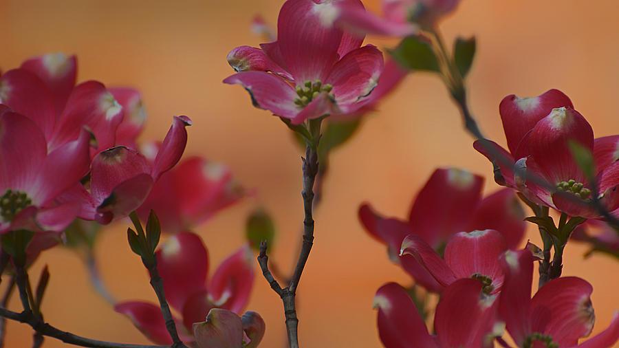 Pink Dogwood 2015 by Beth Akerman