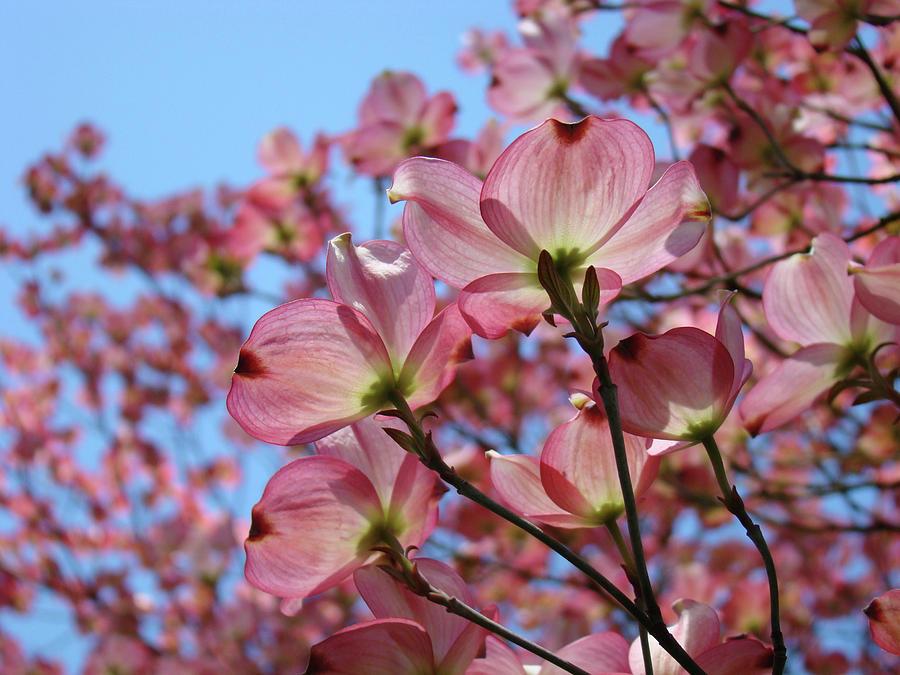 Dogwood Photograph - Pink Dogwood Flowers Landscape 11 Blue Sky Botanical Artwork Baslee Troutman by Baslee Troutman