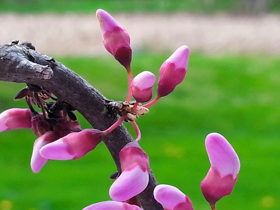 Pink Dogwood In Bloom Photograph