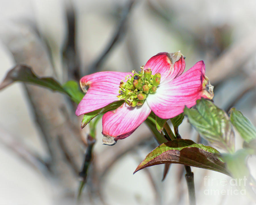 Pink Dogwood Photograph - Pink Dogwood by Kerri Farley