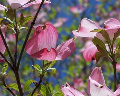 Petals Photograph - Pink Dogwood by Suzette Eichenberg