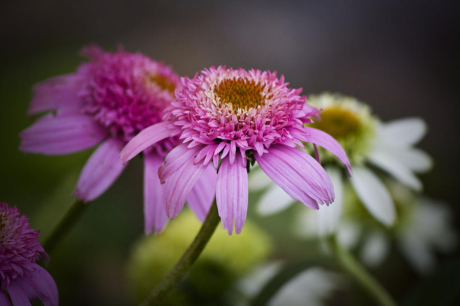 Pink Photograph - Pink Double Delight Coneflower by Teresa Mucha