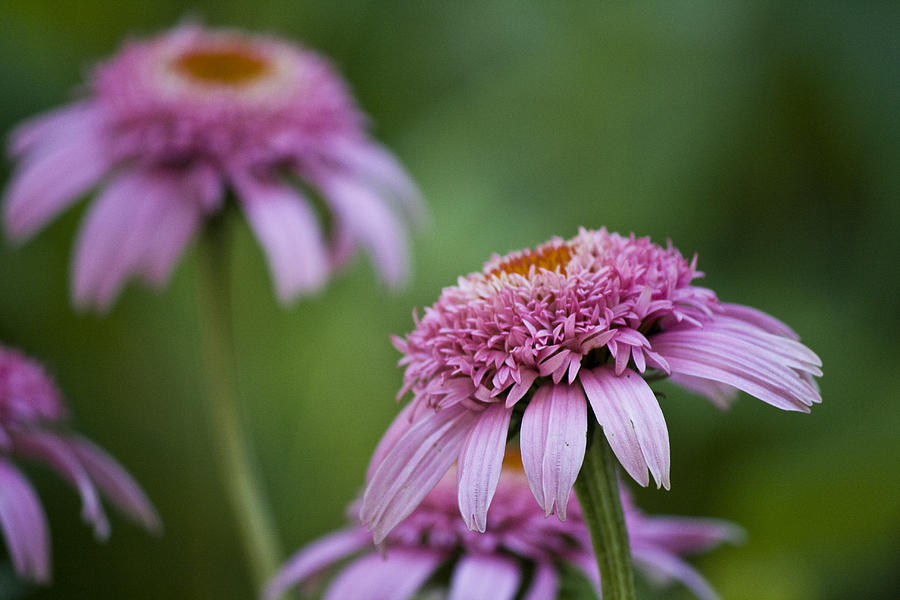 Pink Photograph - Pink Double Delight by Teresa Mucha