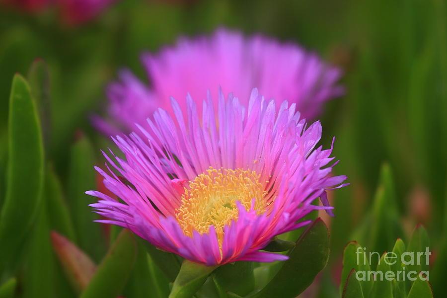Pink Dream Photograph