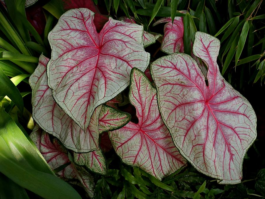 Pink Elephant Ear Plant Photograph By Patricia Strand