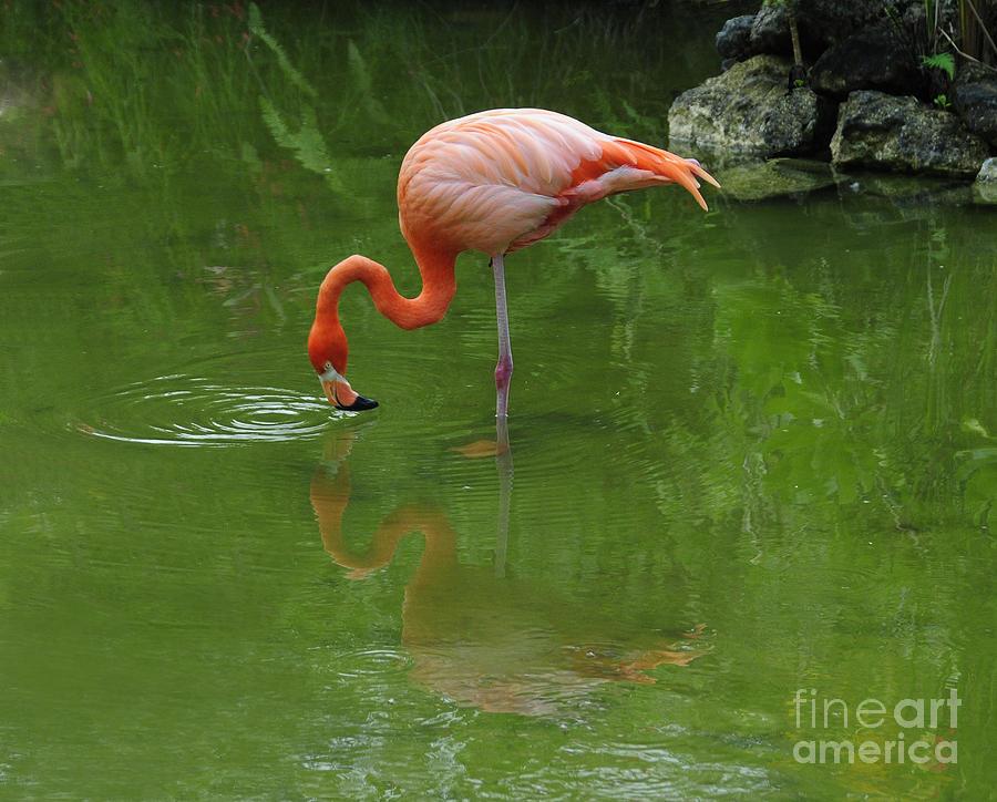 Pink Flamingo Photograph - Pink Flamingo by Cindy Lee Longhini