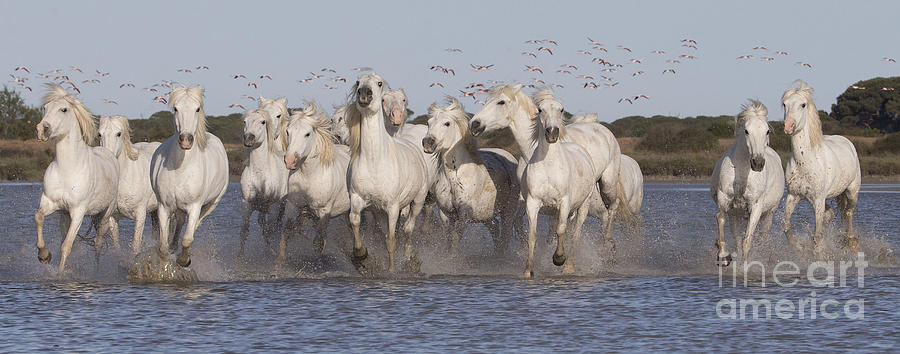Horse Photograph - Pink Flamingoes And White Horses by Carol Walker
