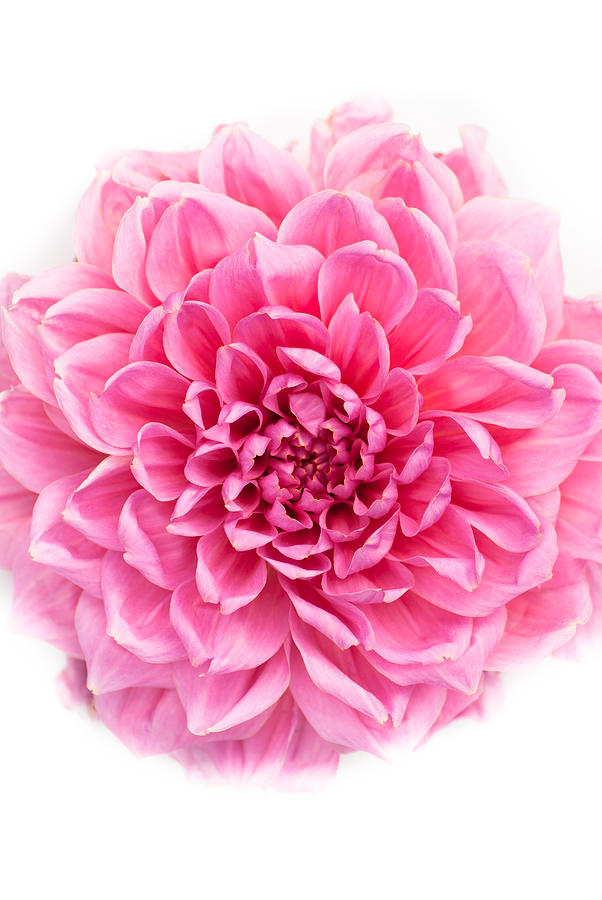 Pink Flower Photograph by Jonathan Hale