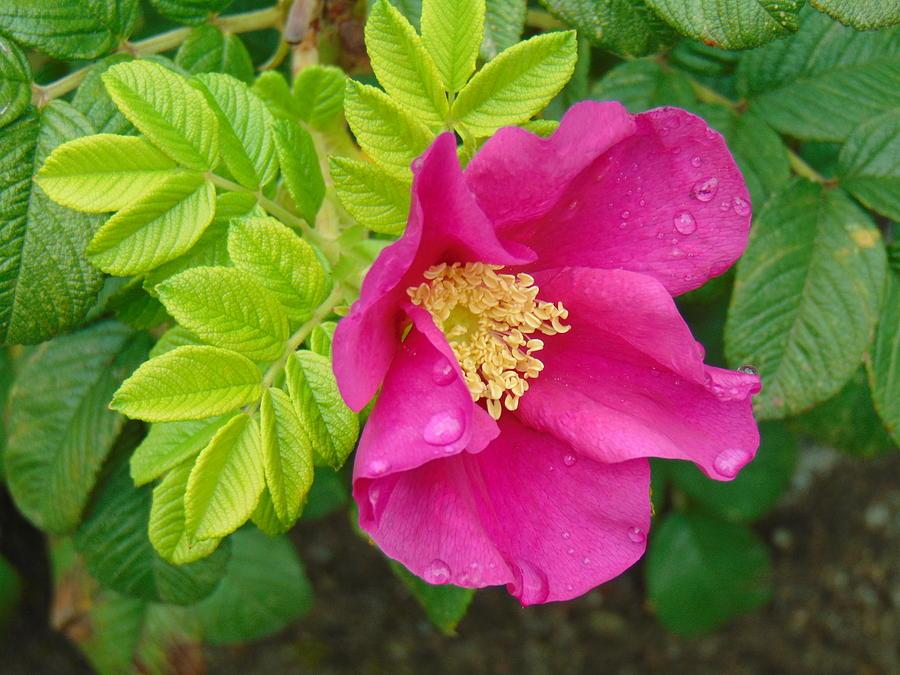 Pink flower photograph by lisha song mightylinksfo