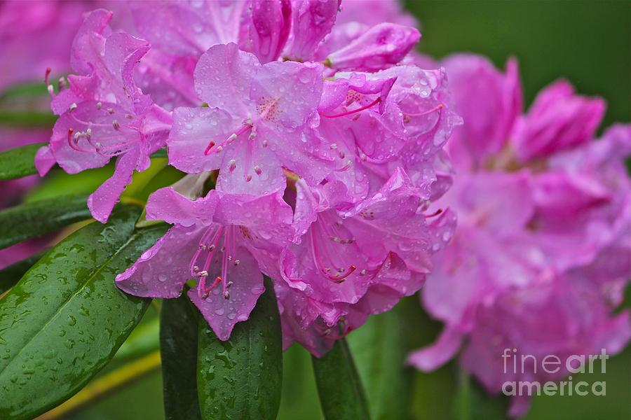 Rhododendron Photograph - Pink Flower by Marie Spence