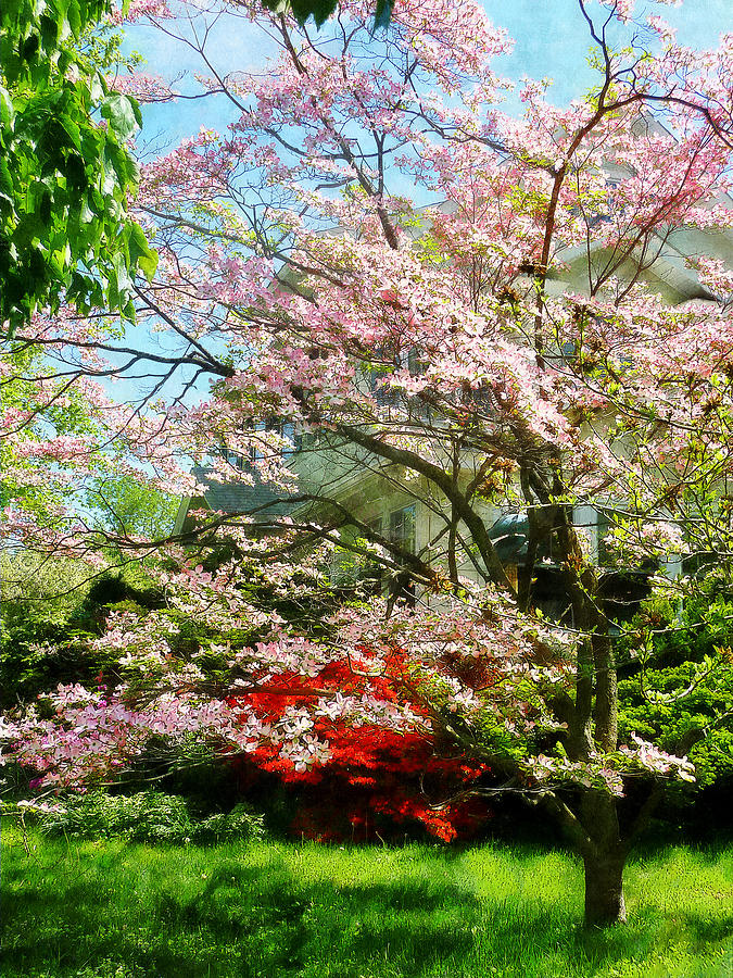 Dogwood Photograph - Pink Flowering Dogwood by Susan Savad