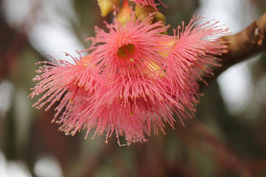 Pink flowering gum eucalyptus leucoxylon rosea photograph by rosea photograph pink flowering gum eucalyptus leucoxylon rosea by carolyn parker mightylinksfo