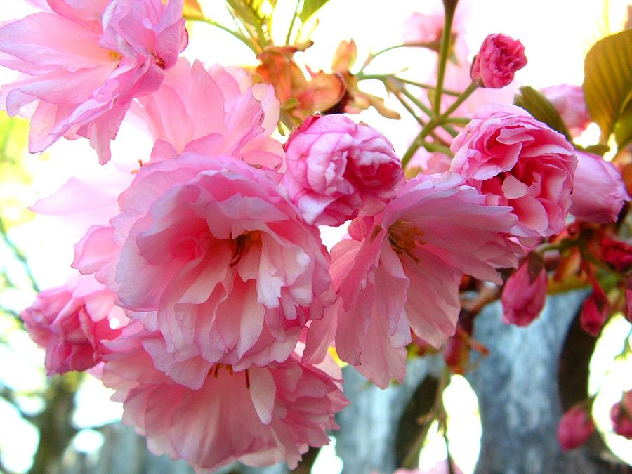 Nature Photograph - Pink Flowers by D R TeesT