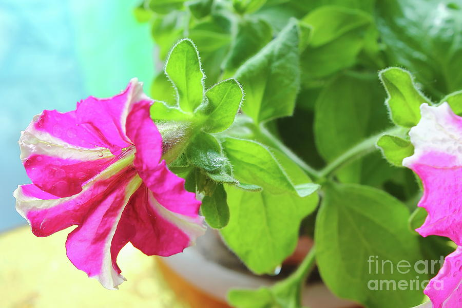 Pink Flowers On Sky Background. Photograph