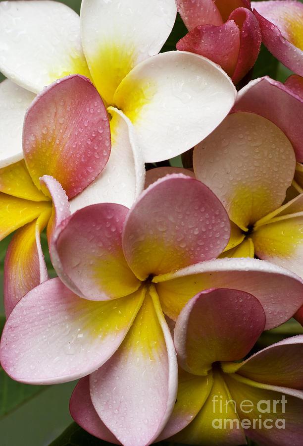 Pink Frangipani Photograph
