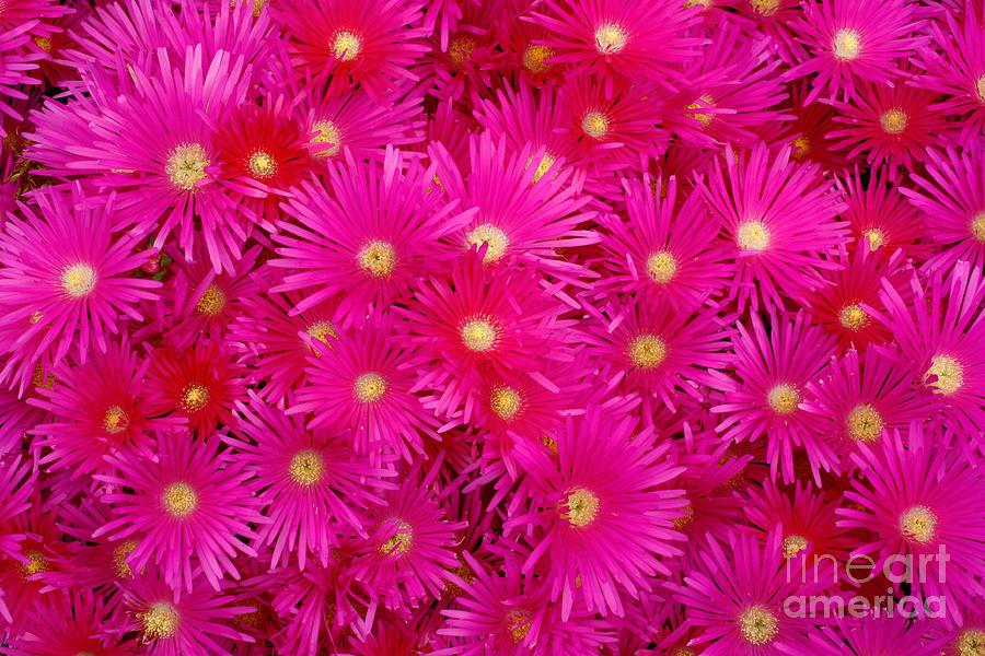 Pink garden flowers photograph by gaspar avila flowers photograph pink garden flowers by gaspar avila mightylinksfo