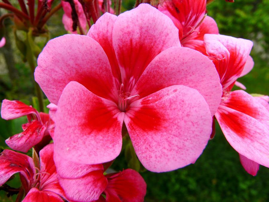 Pink geranium blossom photograph by valerie ornstein plant photograph pink geranium blossom by valerie ornstein mightylinksfo