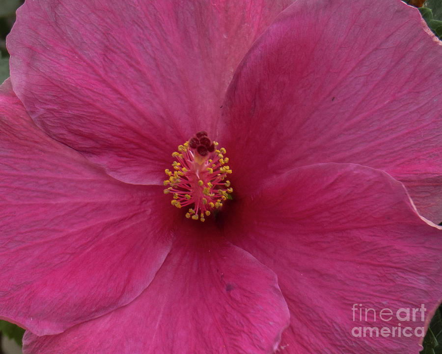 Pink Hibiscus  by Christy Garavetto