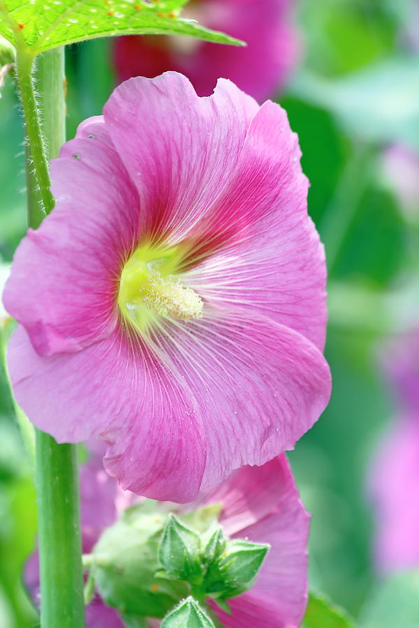 Flower Photograph - Pink Hibiscus by Daniel Caracappa