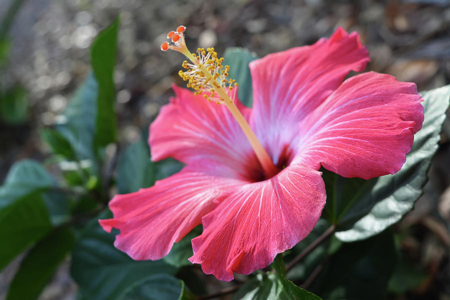 Pink Hibiscus Flower Photograph By Aimee L Maher Alm Gallery