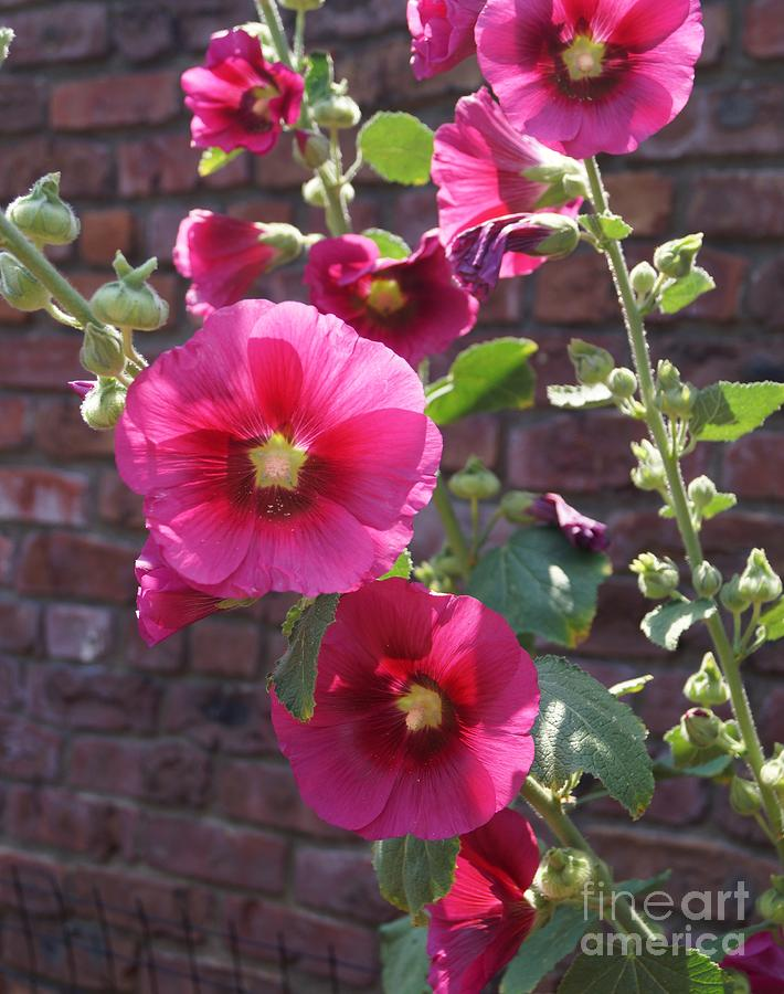 Pink Hollyhock by Kerri Mortenson