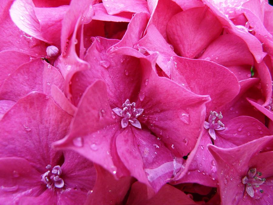 Flower Photograph - Pink Hydrangea After Rain by Valerie Ornstein
