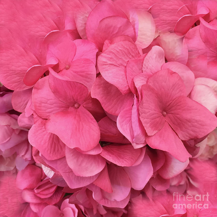 Hydrangea Floral Petals Romantic Pink Flower Petals Photograph By