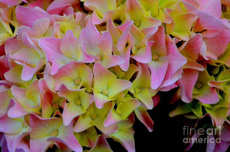 Pink Hydrangea by Mary Deal
