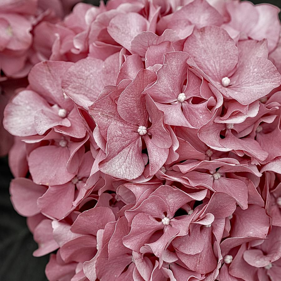 Pink Hydrangea Soft Pink Flowers Muted Pink Flower Image