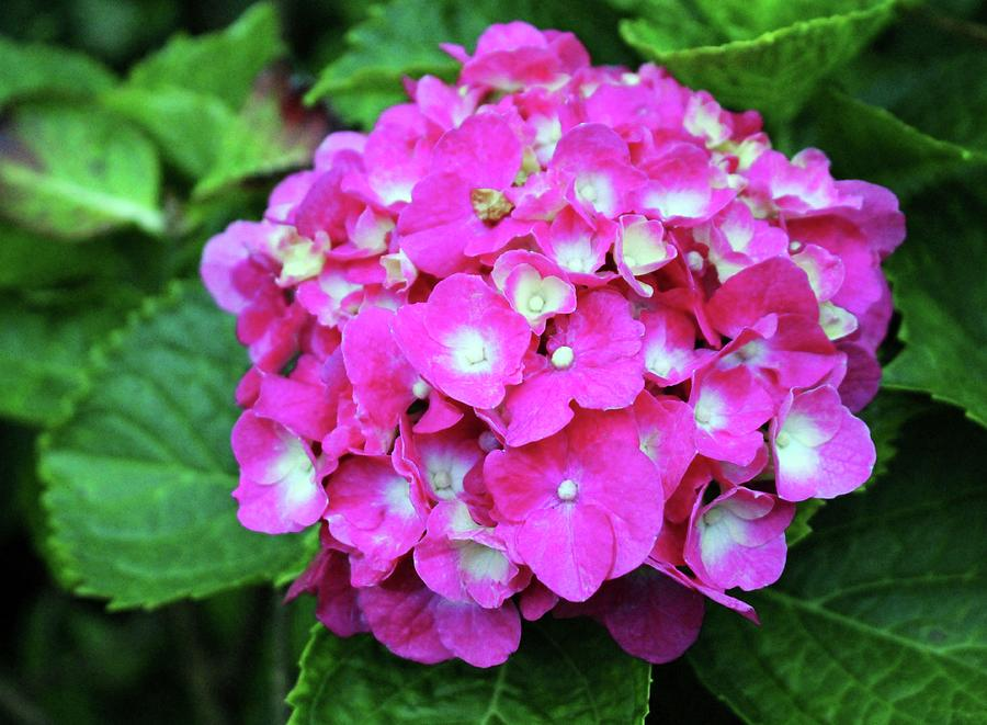 Pink Hydrangea With White Center Photograph by Cynthia Guinn