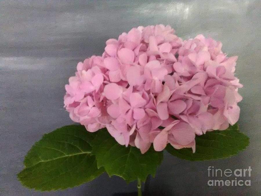 Pink Hydrangea Photograph by Loretta Kessler