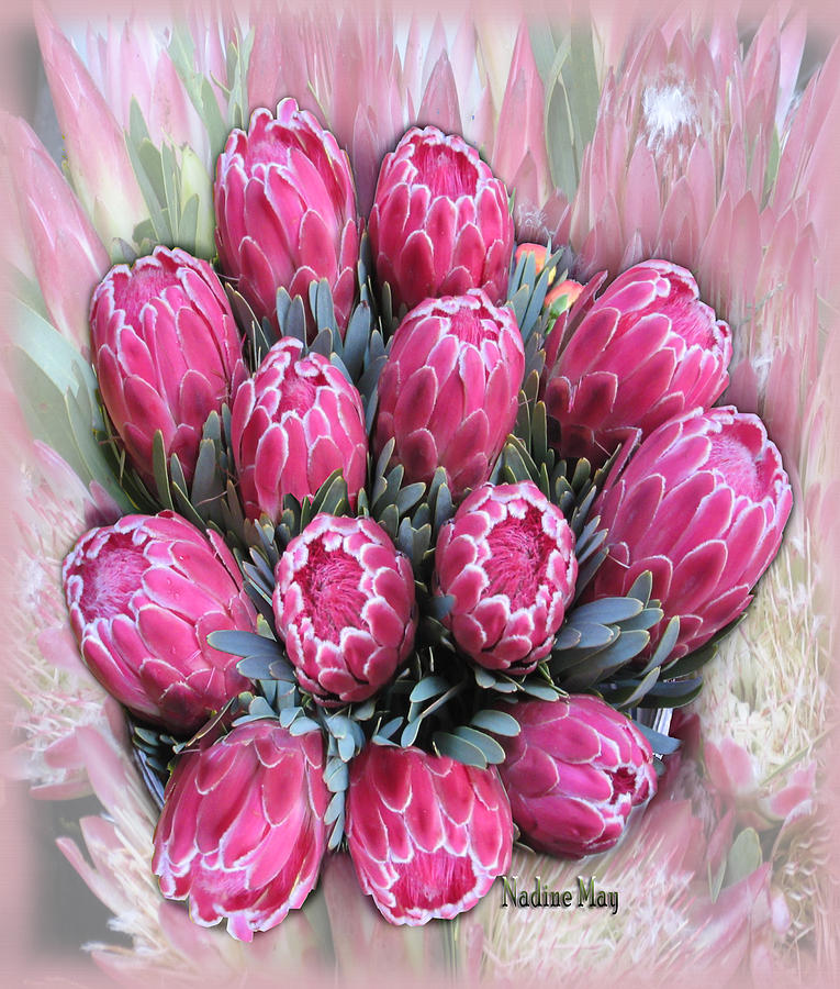 Protea Painting - Pink Ice by Nadine May